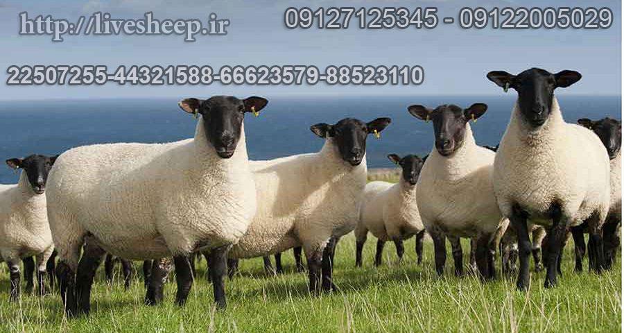 گوسفند زنده مستقیم و ارزان قیمت بودن واسطه بخرید